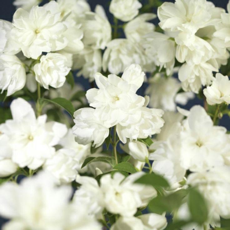 Skjærsmin 'Snowbelle'  H 2 m, Avstand 1,5 m  Solrikt, blomstring jun-jul, duft