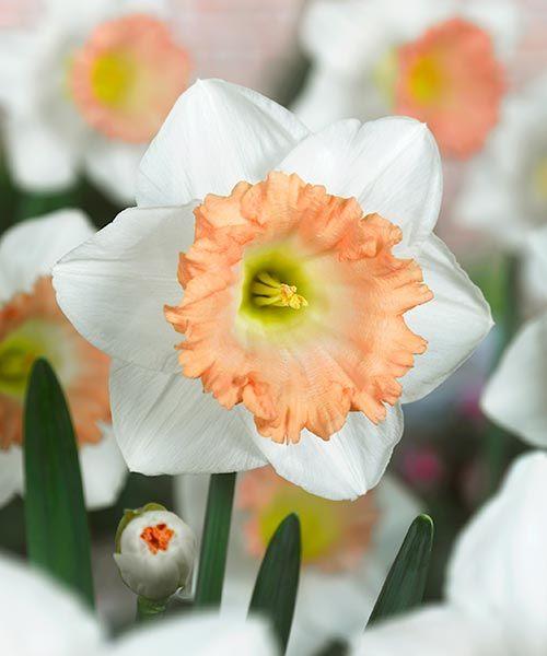 Trubkovité narcisy ´British Gamble´. Úžasná novinka s extra velkými květy! Květy mají čistě bílé okvětní lístky a výraznou, korálově růžovou korunku. Obvod cibulí:12/14 cm. Stanoviště: plné slunce - polostín, doba kvetení: duben, výška: asi 45 cm, k řezu.