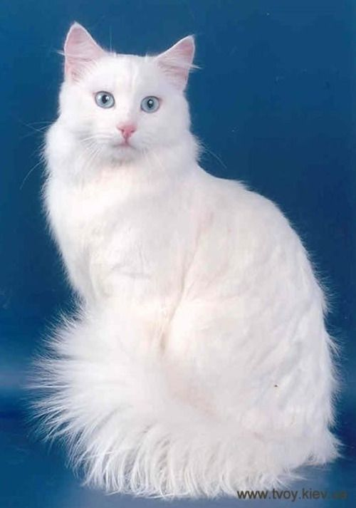 THIS CAT IS BEAUTIFULLY WHITE WITH LONG FUR.