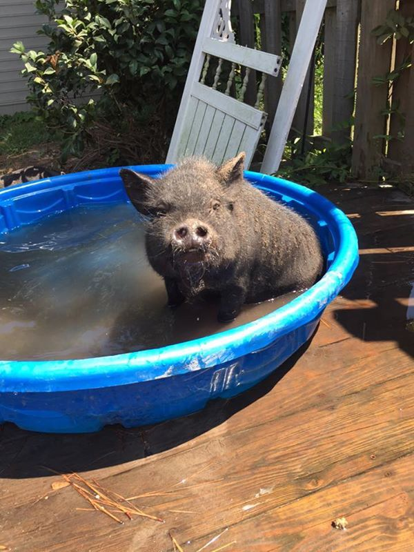 95 Best Images About The Real Mini Pigs On Pinterest A