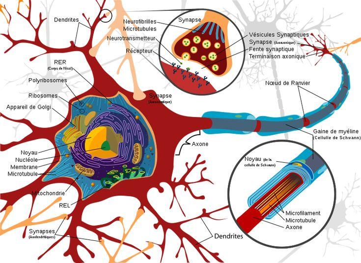 Structure neuronale et synapses
