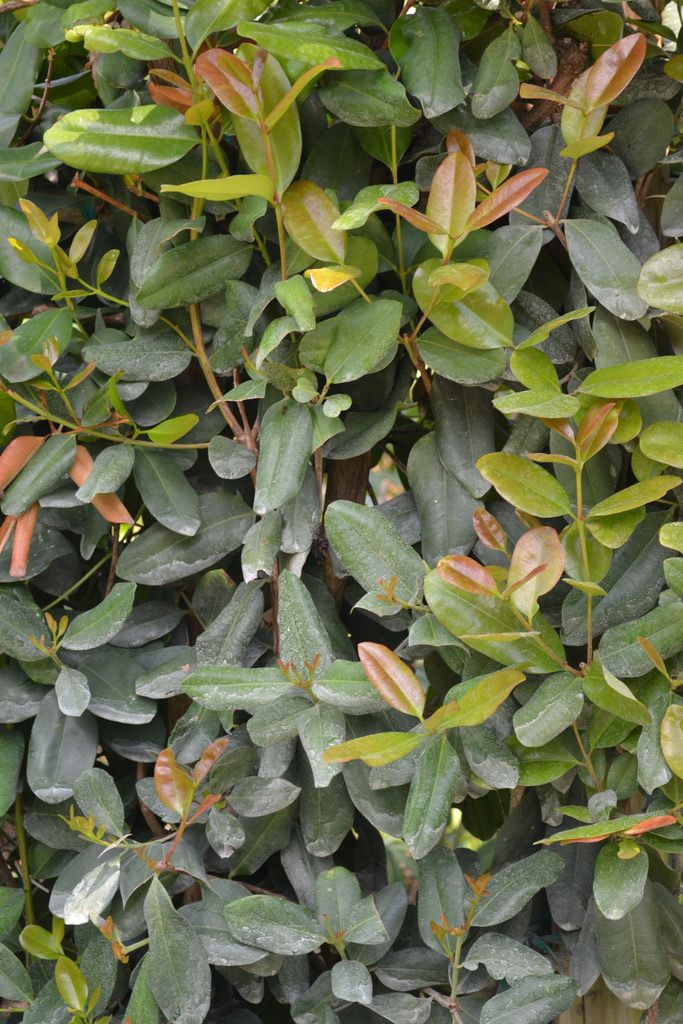 Bay Rum Laurel / Pimenta racemosa