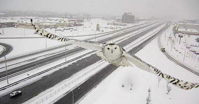 Pöllö kiinnostui tievalvontakamerasta Montrealin liepeillä Kanadassa. #HS #pöllö #kanada Kuva: Reuters