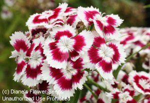 Dianthus 'Holborn Glory'