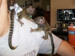 Pygmy Marmoset Monkeys for Sale | Image of Twin Pygmy Marmosets Monkeys For RE-HOMING