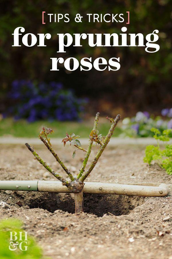 Here S How To Prune Your Roses To Get The Most Blooms And Healthiest Plants Rose Plant Care Pruning Roses Planting Roses