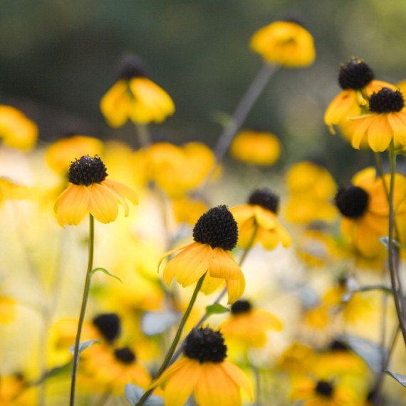 Yellow flower photo cone flowers echinacea mustard yellow bright sunny garden dreamy home decor whimsical wall art