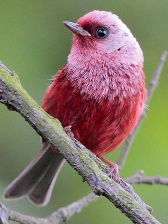 Pink-headed Warbler (Cardellina versicolor) — with Anna Springer and Clau Estrada.  Vulnuerable