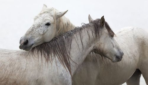Camargue horses by Marco Carmassi.