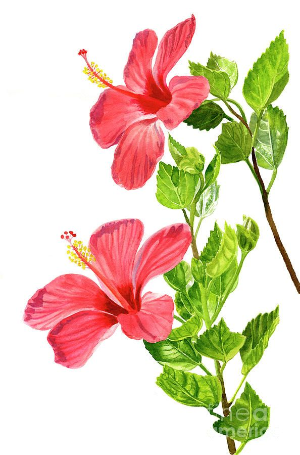 Two Light Red Hibiscus Flowers By Sharon Freeman Hibiscus Flower Drawing Flower Art Flower Art Painting