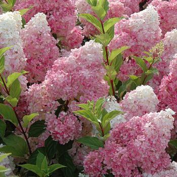 Hortensia - Hydrangea paniculata Vanille-Fraise  floraison juillet à octobre H250cm