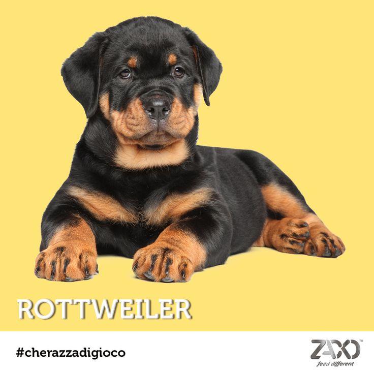 Ammettiamolo... era facile!! La soluzione di #cherazzadigioco di oggi è un maestoso cucciolo di Rottweiler!  Potremmo definirlo un intrepido gigante buono, dal carattere forte e leale. È infatti un cane fortemente territoriale e molto legato al suo padrone.  L'importante è farlo socializzare con tutti i membri della famiglia, sarà la vostra ombra. :)  Tornate a seguirci lunedì prossimo con un nuovo quiz!