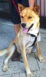 Twiggs is an adoptable Shiba Inu Dog in North Wales, PA. My name is Twiggs and I am a 1-2 year old Shepherd mixed with what appears to be Shiba Inu weighing approximately 50 lbs. I am a total love and...