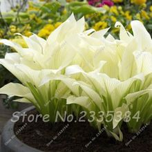 120 Zeldzame Witte Hosta plantaginea Zaden Geurige weegbree lelie Bloem Fire Ijs Schaduw Kant Bonsai Huis Tuin Grond Plant Zaad(China (Mainland))