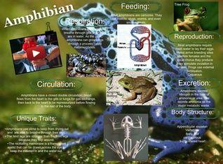 Amphibians are ectothermic, tetrapod vertebrates of the class Amphibia. Modern amphibians are all Lissamphibia. #glogster #glogpedia #amphibian