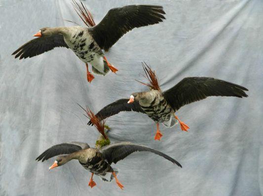 geese mount; Nebraska Canada