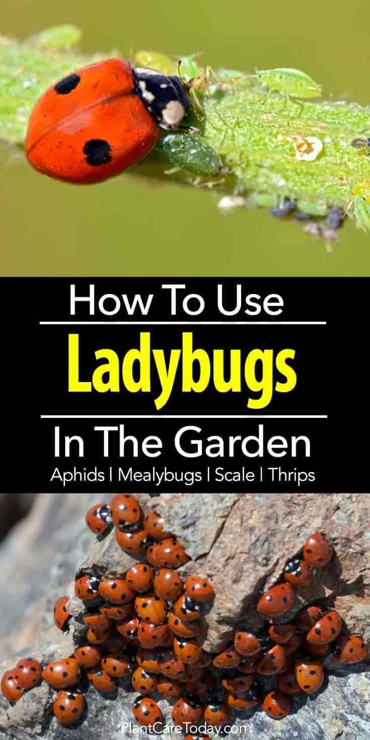 Lady Bugs eat generously on aphids, mealybugs, spider mites, scale, thrips, and whiteflies in flowerbeds and vegetable gardens yet never harm plants. #GardenPests