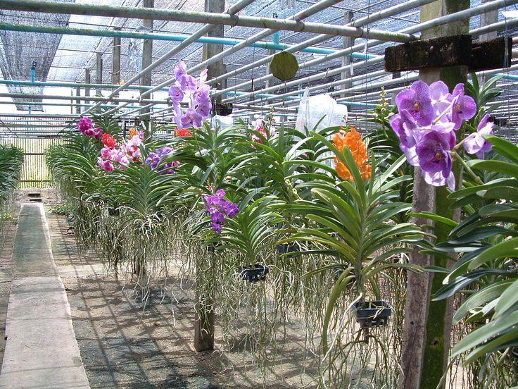 25 best orchidees vanda images on pinterest vanda. Black Bedroom Furniture Sets. Home Design Ideas