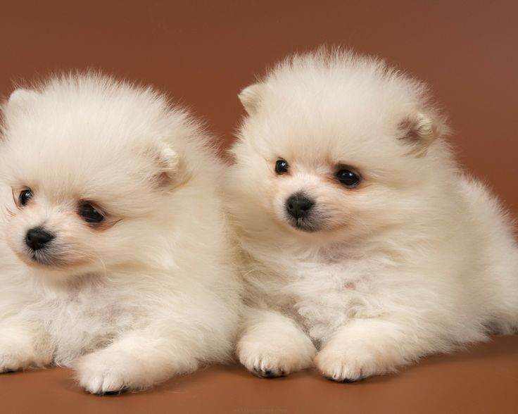 Cute Baby Puppies | ... baby, cute, dog, dogs, Pets, pomeranian, puppies, puppy - Wallpapersus
