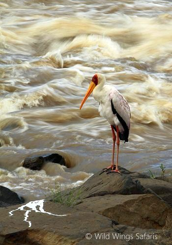 A yellow billed stork watches the Sabie River raging.  Kruger National Park