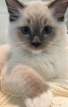 Purretty Katze 😍💕 Wünschen Sie niedlichere Kätzchen? Klicken Sie auf das Foto …