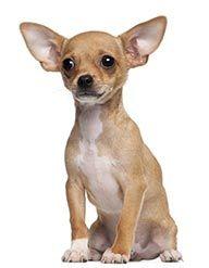 Chihuahua de pelo curto