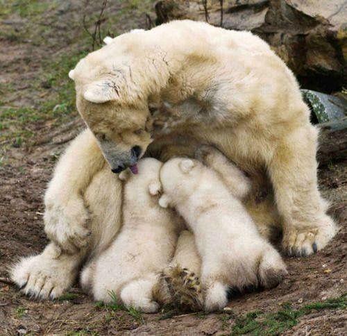 Best Polar Bears Images On Pinterest Polar Bears Animal - 22 adorable parenting moments in the animal kingdom