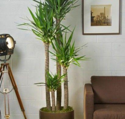 Palmlilie - eine bezaubernde Zier- und Nutzpflanze