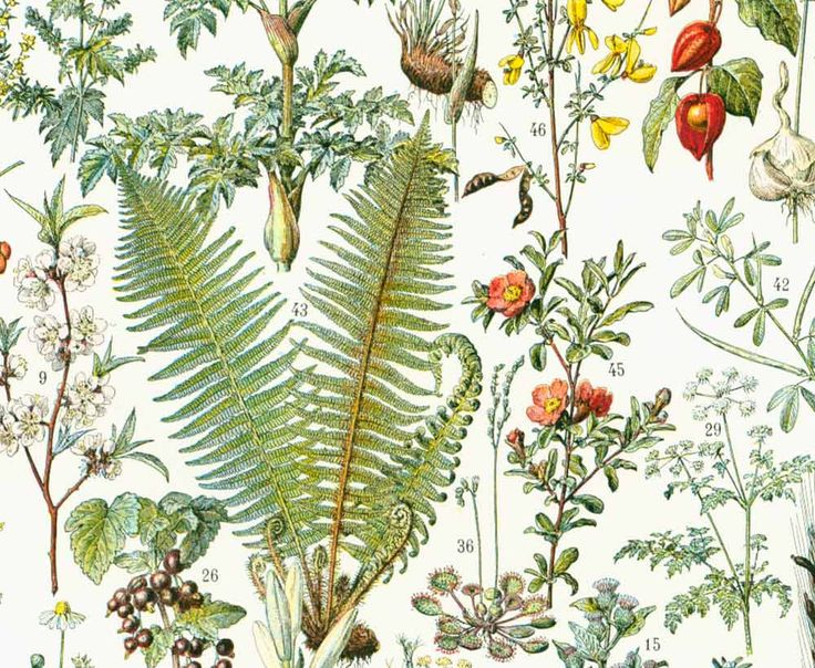 Plus de 1000 id es propos de planches botaniques sur for Acheter des plantes