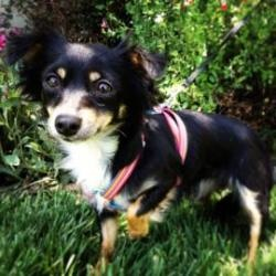 Clementine is an adoptable Spaniel Dog in Santa Cruz, CA. Clementine is 1 year old. The Santa Cruz SPCA's adoption package for dogs and cats includes spay/neuter, vaccinations, microchip/registration,...