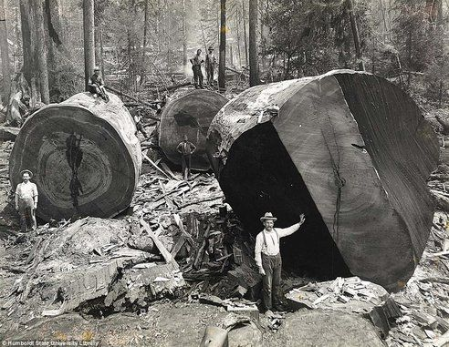 lumberjacks felling giant redwoods - Non-profit wants to clone the worlds oldest trees to reforest the planet