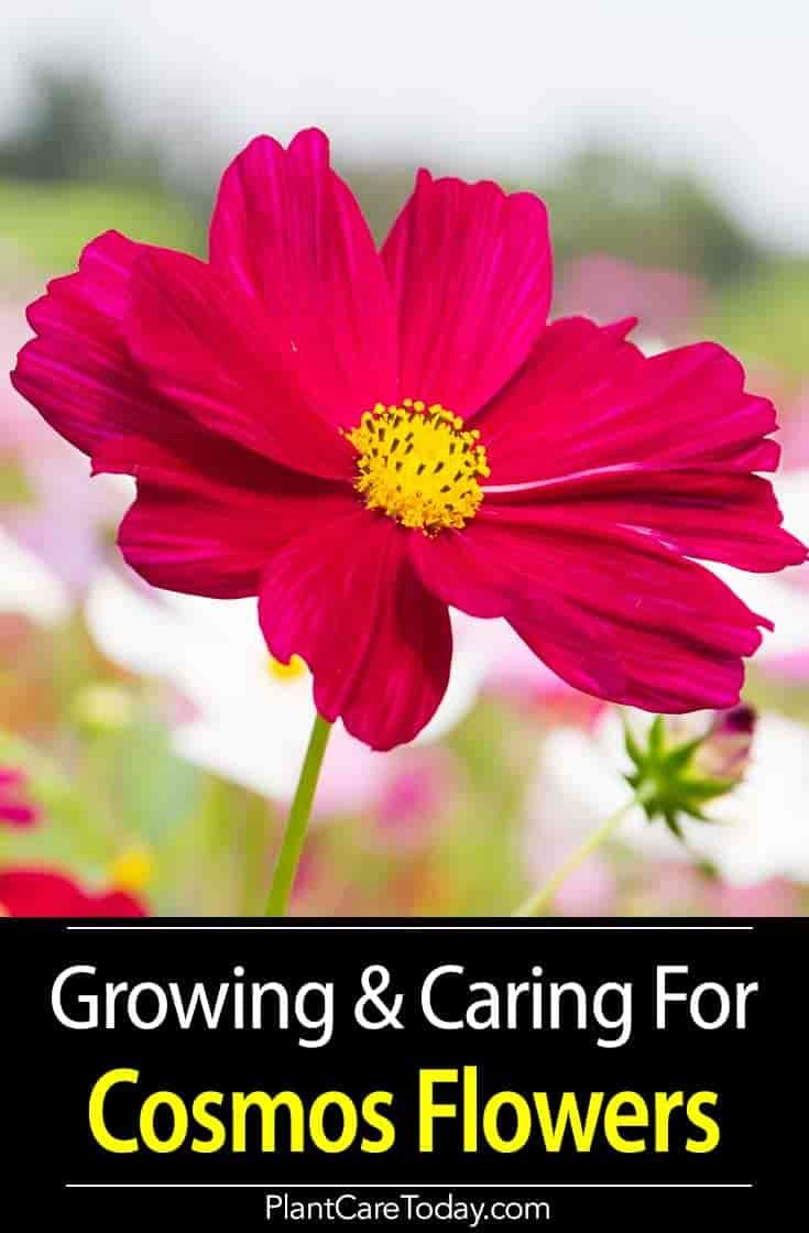 Cosmos Flower Growing And Care For The Cosmos Plant Cosmos Plant Cosmos Flowers Cosmos Flowers Garden