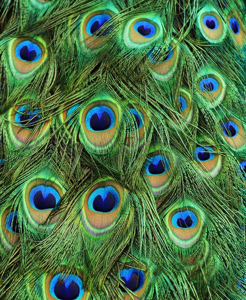 peacocks - their sound and their vivid colors.