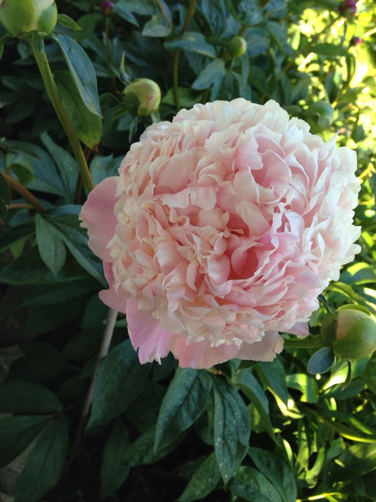 The divas in my garden: peonies in pink, white and fuchsia