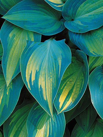 "'June'  Golden-yellow foliage with streaky blue-green edges.  Moderate in size @ 15"", purple flower. 1997"
