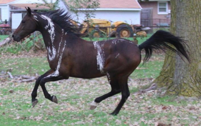 """Somatic Mutations: Somatic mutations are the result of a gene that is accidentally switched """"off,"""" often resulting in odd patches of color on an otherwise ordinary coat.  This is DA Remote Control, a 3/4 quarter Arabian - 1/4 Hackney mare whose odd white streaks are probably the result of a somatic mutation.  Source: http://www.whitehorseproductions.com/ecg_basics4.html  More about this mare: http://www.horsegroomingsupplies.com/horse-forums/the-all-about-clicker-thread-415079.html"""