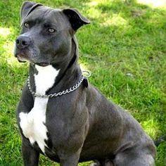 Resultado de imagem para pitbull preto com peito branco