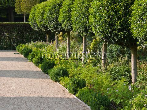 Image result for spacing Prunus lusitanica garden design