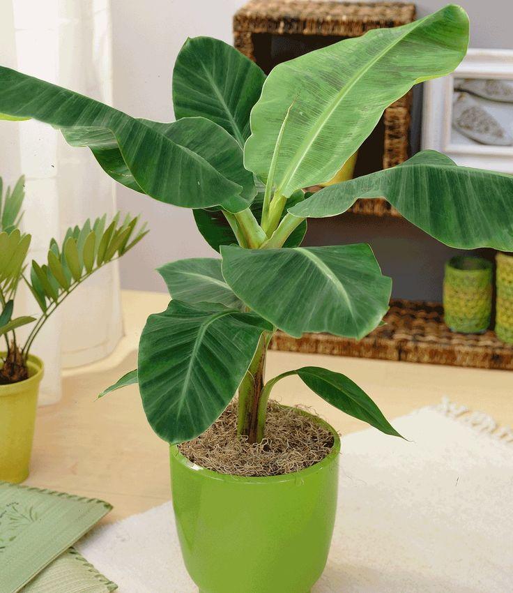 Die winterharte japanische Faserbanane können Sie im Zimmer und im Freien verwenden! Sie erfreut sich großer Beliebtheit, denn die Pflanze ist sehr robust, wächst schnell und trägt bei guten klimatischen Bedingungen sogar essbare Bananen-Früchte