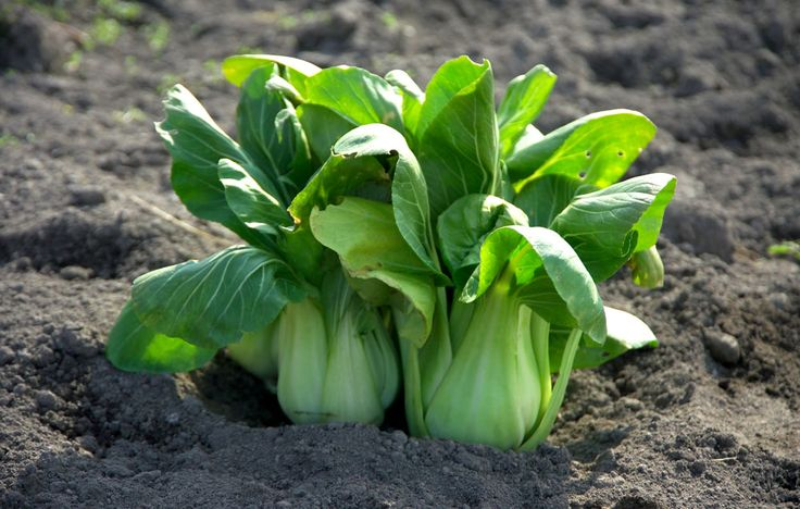 How to grow bok choy growing vegetables growing bok