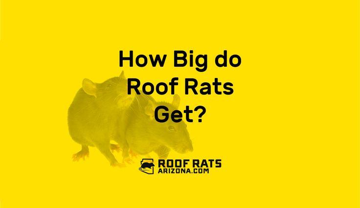 How big do roof rats get?