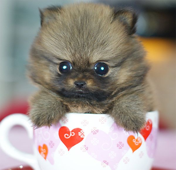 Some cute teacup puppies photos 04 animal kingdom - Cute pomeranian teacup puppy ...