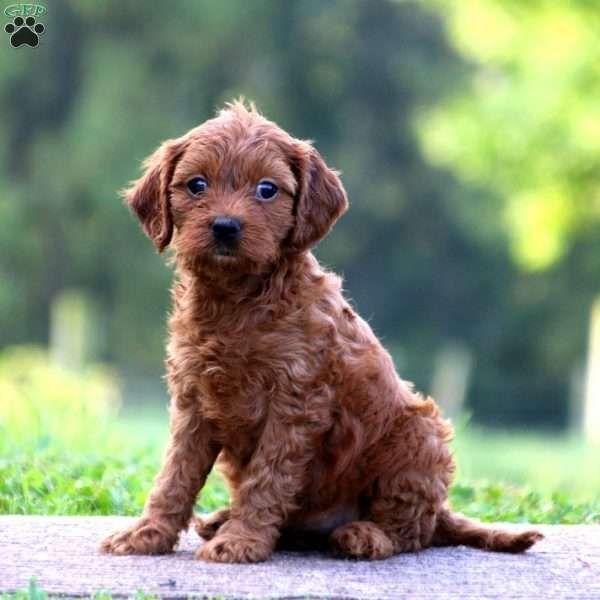 Beauty Cavapoo Puppy For Sale In Pennsylvania Cavapoo Puppies Dog Breed Info Cavapoo