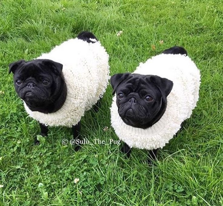 pugs dressed up as sheep