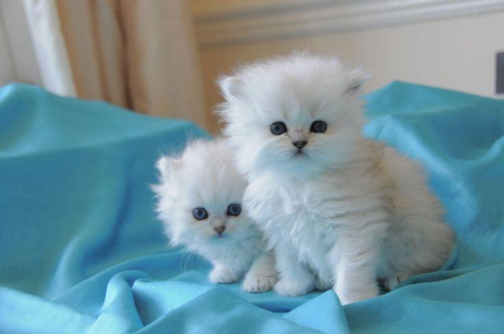 Chinchilla Persian Kittens, Cat Breeds