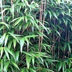 Réaliser sa haie de Bambou avec le Métaké (Pseudosasa) Vous souhaitez réaliser une belle haie de bambous? Le Bambou Pseudosasa japonica, encore appelé bambou métaké, est une espèce idéale. De taille moyenneleBambou Metakeest un bambou idéal pour se cacher du voisinage. Grace à ladensité de ses chaumesde 3m50 et à son feuillage persistant, il permet de faire debelles Haies Brise-Vue.La distance d'espacement entre les plants est de 60cm à 80cm. L'espacement entre les plants doit...