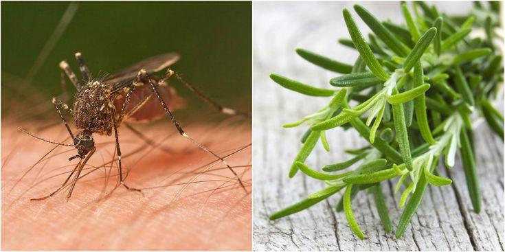 Inhoatko hyttysiä? Näin pääset niistä eroon! Hyttyset ovat ikävä riesa, jotka pahimmillaan pilaavat tunnelmallisen illan. Ne pitävät ärsyttävää ääntä, pistävät ja aiheuttavat kutiavia paukamia, joiden kutina vain pahenee raapiessa. Moni päättääkin suojautua hyttysmyrkyillä, jotka eivät kuitenkaan o
