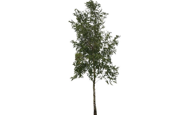 Free cut out tree. Birch | Free Cut Out people, trees and leaves