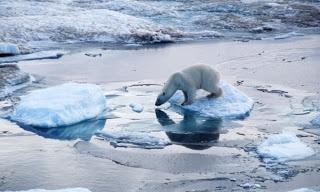 Polar Bear: Endangered or Threatened?