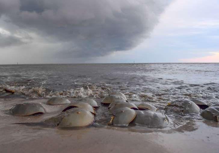 Los cangrejos herradura aprovechan el aumento de la marea para colocar huevos en la playa (The Washington Post / Ricky Carioti)